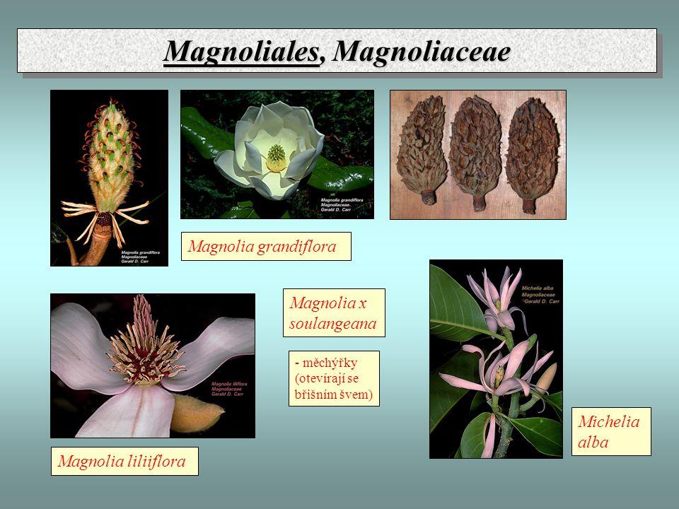 Magnoliales, Magnoliaceae Magnolia x soulangeana Magnolia grandiflora Magnolia liliiflora Michelia alba - měchýřky (otevírají se břišním švem)