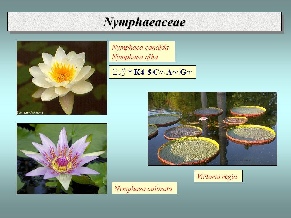 """Nuphar lutea Nuphar pumila NymphaeaceaeNymphaeaceae ♀,♂ * P 5 A∞ G∞ Podčeledi: Euryaloideae (Euryale, Victoria) - ostny na řapících a spodu listů Barclaya (Barclaya) - srostlé okvětí """"Nymphaeoideae (Nymphaea, Nuphar, Ondinea) (Cabombaceae) - Cabomba, Brasenia - plovoucí lodyhy, volné G"""