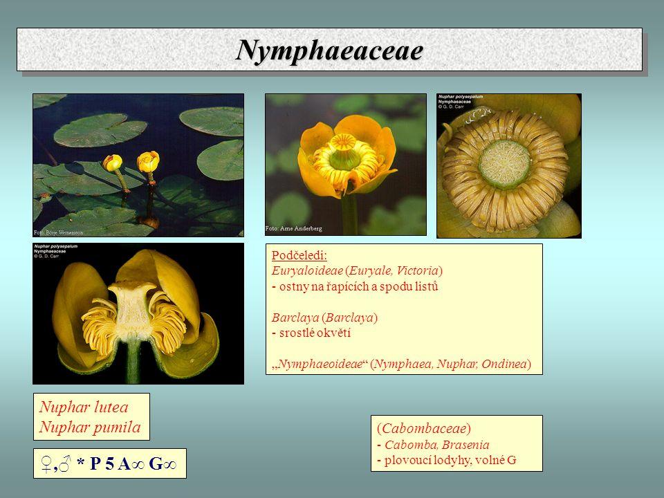 Nuphar lutea Nuphar pumila NymphaeaceaeNymphaeaceae ♀,♂ * P 5 A∞ G∞ Podčeledi: Euryaloideae (Euryale, Victoria) - ostny na řapících a spodu listů Barc