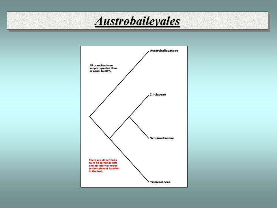 Austrobaileyales, Austrobaileyaceae