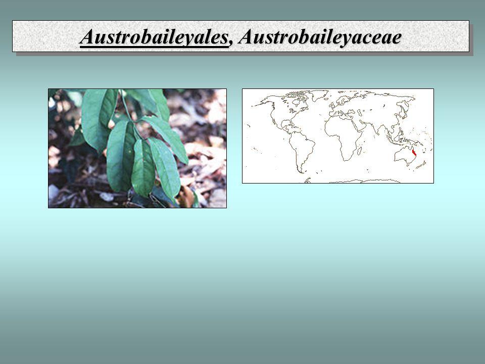 Magnoliales, Magnoliaceae ǒ * P∞ A∞ G∞ - multilakunární nody - alkaloidy benzyl-izochinolinového typu, éterické oleje