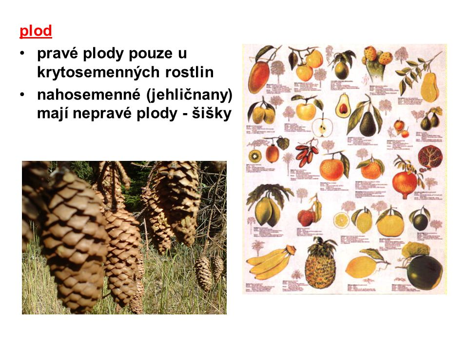 plod vyvíjí se nad zemí (výjimka = podzemnice olejná) výživa a ochrana semen usnadňuje rozšiřování semen = chorie –zoochorie –anemochorie –hydrochorie –antropochorie