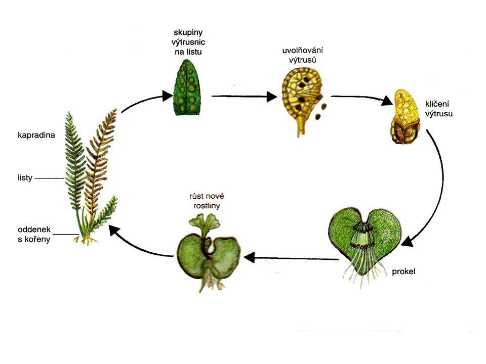 Rostliny příbuzné kapradinám Přeslička lesní Plavuň vidlačka