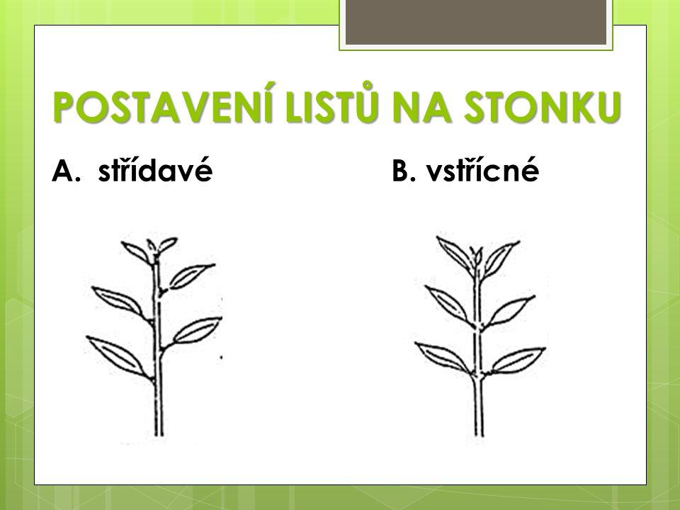 C. přeslenitéD. přízemní růžice (stvol)