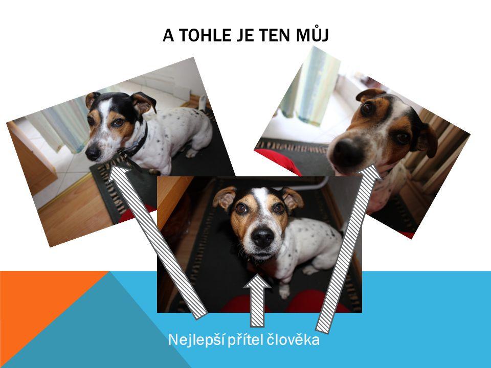 VLASTNOSTI  je to pes, který je vhodný do města, vzhledem ke svým nárokům a velikosti (25 - 30 cm, 5 – 6 kg)  nejde snadno vycvičit, při větší píli
