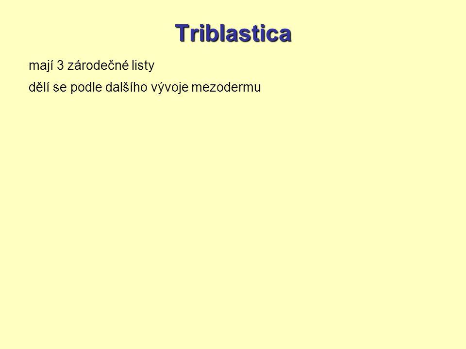 Triblastica mají 3 zárodečné listy dělí se podle dalšího vývoje mezodermu