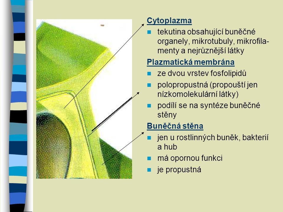 Cytoplazma tekutina obsahující buněčné organely, mikrotubuly, mikrofila- menty a nejrůznější látky Plazmatická membrána ze dvou vrstev fosfolipidů pol