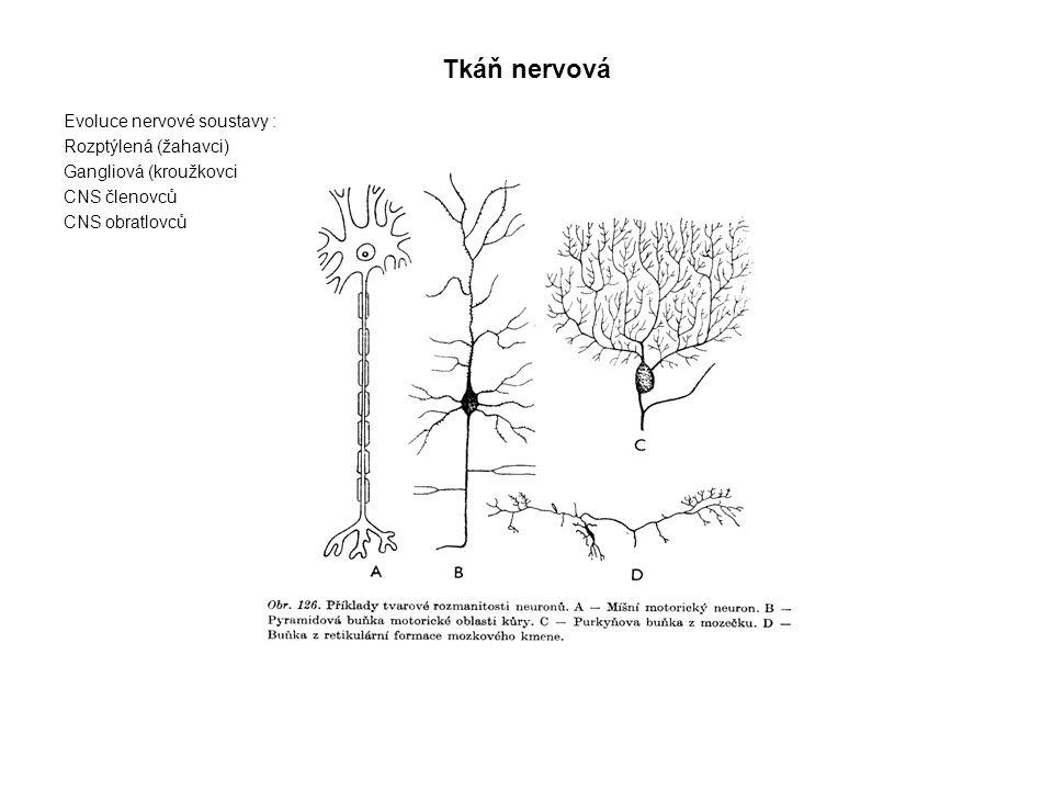 Tkáň nervová Evoluce nervové soustavy : Rozptýlená (žahavci) Gangliová (kroužkovci) – žebříčková CNS členovců CNS obratlovců