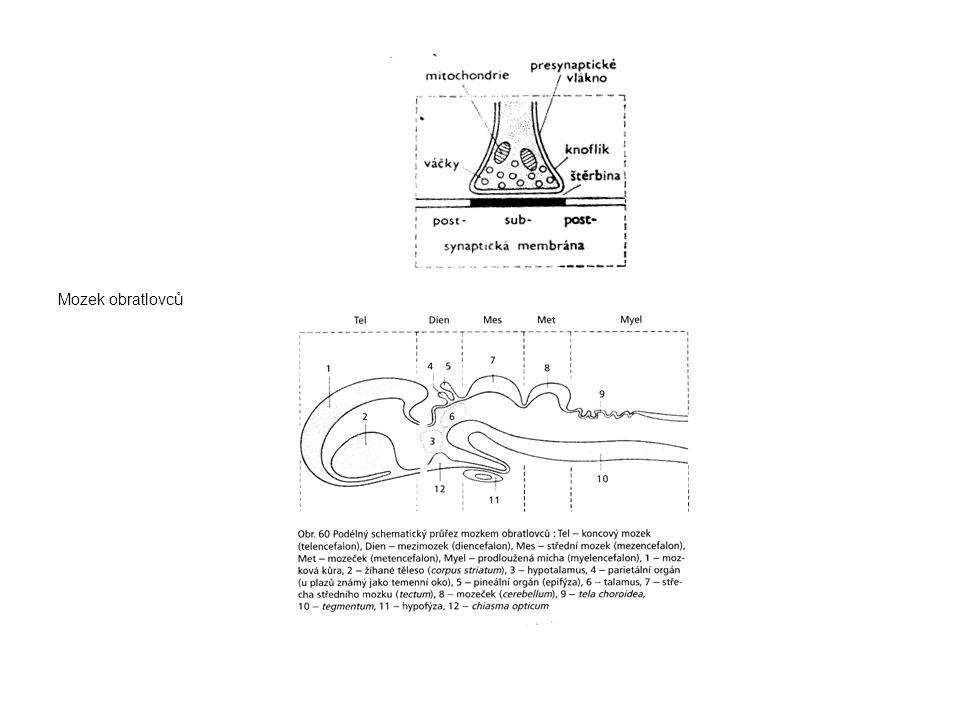 Mozek obratlovců