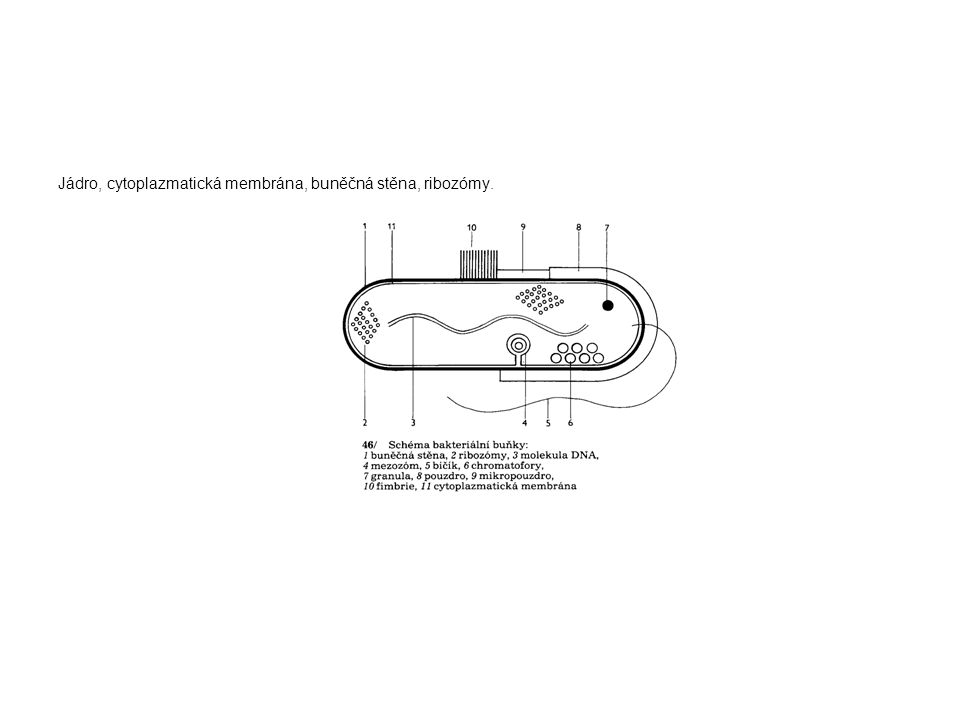 Jádro, cytoplazmatická membrána, buněčná stěna, ribozómy.