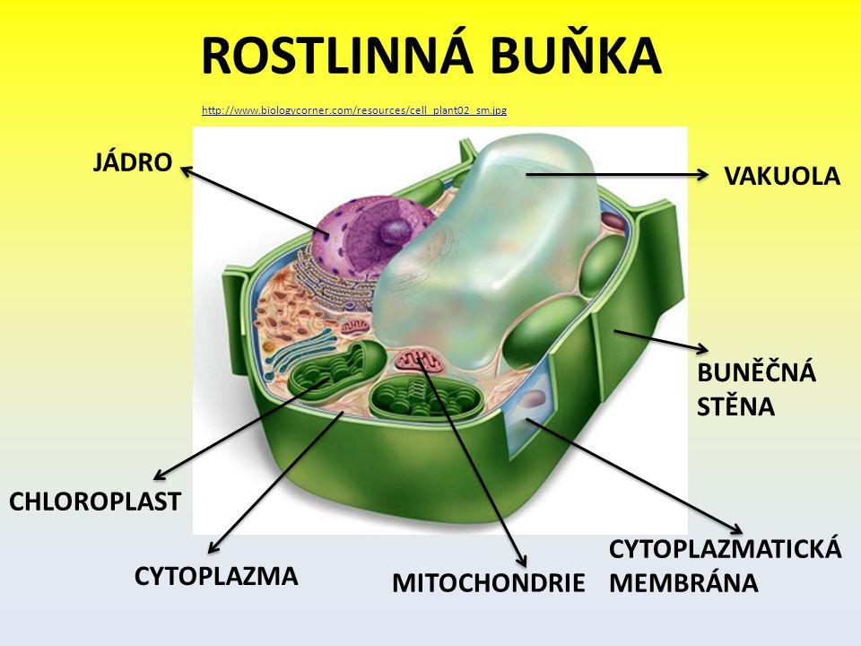 ROSTLINNÁ BUŇKA http://www.biologycorner.com/resources/cell_plant02_sm.jpg JÁDRO CHLOROPLAST CYTOPLAZMA MITOCHONDRIE CYTOPLAZMATICKÁ MEMBRÁNA BUNĚČNÁ