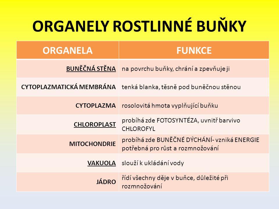 ORGANELY ROSTLINNÉ BUŇKY ORGANELAFUNKCE BUNĚČNÁ STĚNAna povrchu buňky, chrání a zpevňuje ji CYTOPLAZMATICKÁ MEMBRÁNAtenká blanka, těsně pod buněčnou s