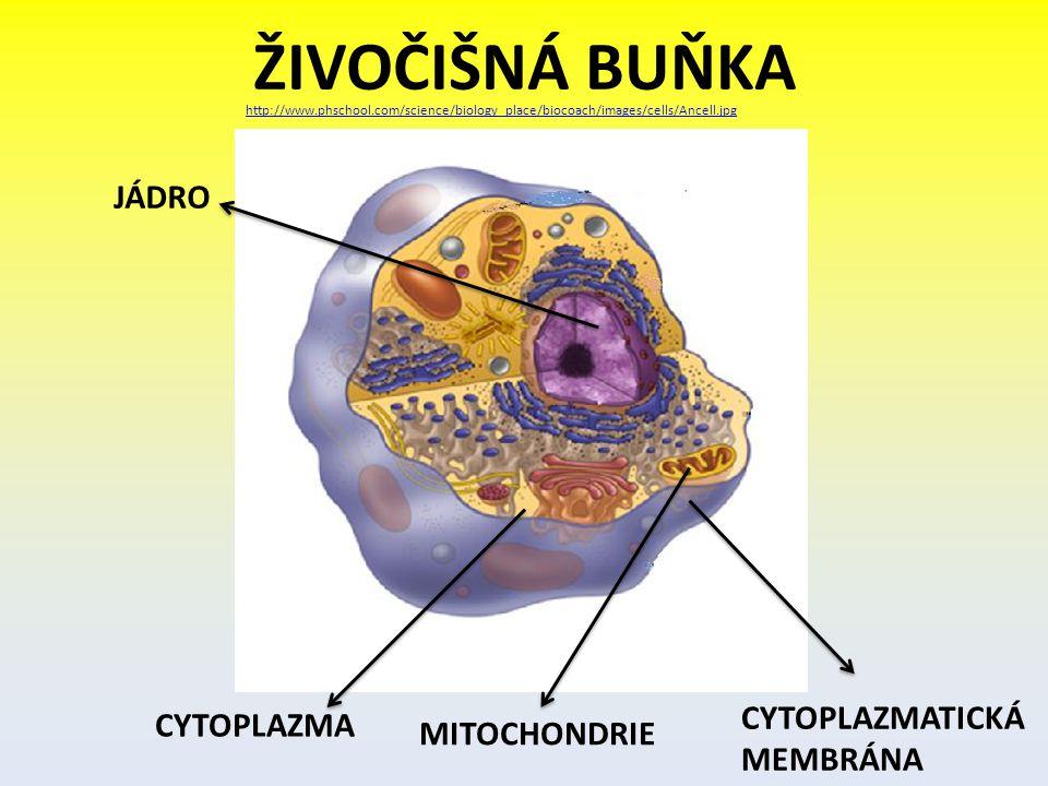 ŽIVOČIŠNÁ BUŇKA http://www.phschool.com/science/biology_place/biocoach/images/cells/Ancell.jpg JÁDRO CYTOPLAZMA CYTOPLAZMATICKÁ MEMBRÁNA MITOCHONDRIE