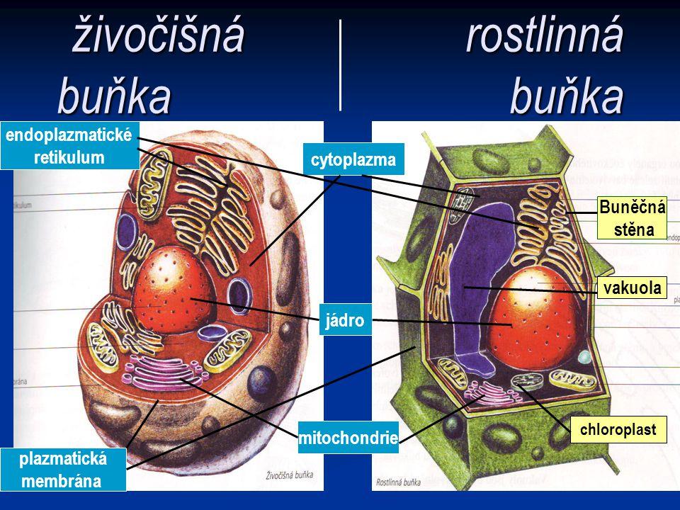živočišná rostlinná buňka buňka cytoplazma jádro mitochondrie endoplazmatické retikulum plazmatická membrána Buněčná stěna vakuola chloroplast