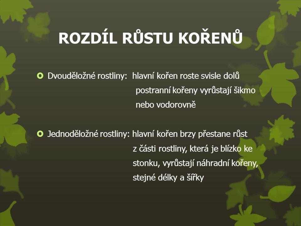 ROZDÍL RŮSTU KOŘENŮ  Dvouděložné rostliny: hlavní kořen roste svisle dolů postranní kořeny vyrůstají šikmo nebo vodorovně  Jednoděložné rostliny: hl