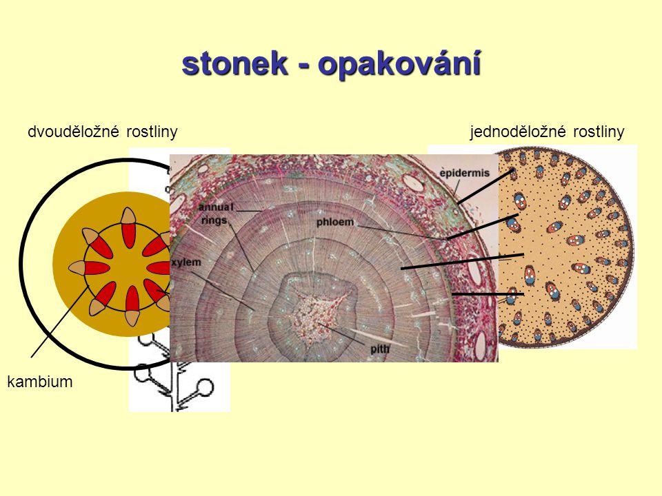 stonek - opakování epidermis = pokožka primární kůra střední válec dvouděložné rostliny jednoděložné rostliny kambium cévní svazky v kruhuroztroušené