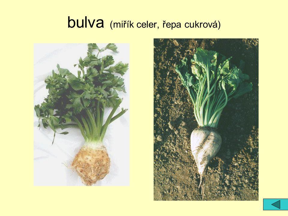 bulva (miřík celer, řepa cukrová)