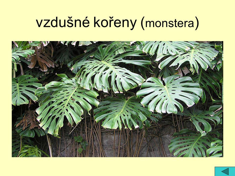 vzdušné kořeny ( monstera )