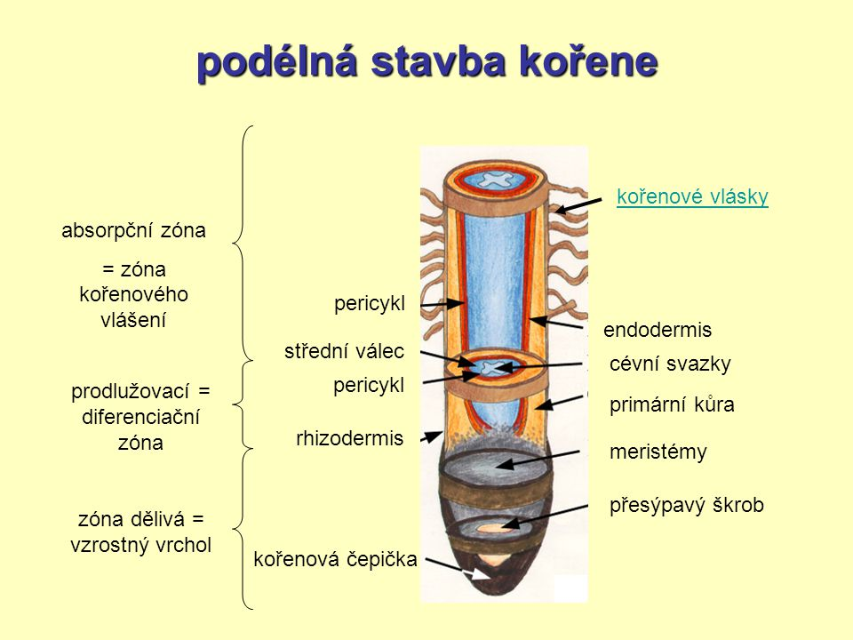 podélná stavba kořene cévní svazky kořenová čepička přesýpavý škrob meristémy rhizodermis primární kůra pericykl střední válec endodermis pericykl koř