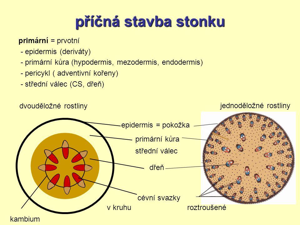 příčná stavba stonku primární = prvotní - epidermis (deriváty) - primární kůra (hypodermis, mezodermis, endodermis) - pericykl ( adventivní kořeny) -