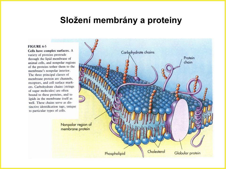 Složení membrány a proteiny