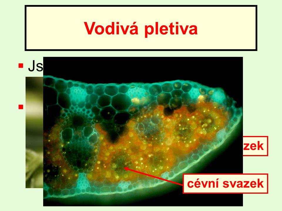  Jsou tvořená cévními svazky (žilkami)  Vedou vodu a v ní rozpuštěné látky na různá místa v rostlině Vodivá pletiva cévní svazek
