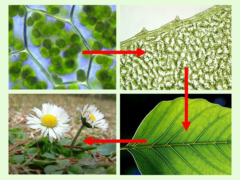  podzemní  kořen  nadzemní  stonek  list  květ Rostlinné orgány