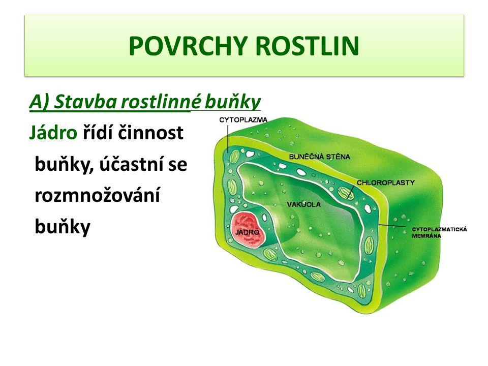 POVRCHY ROSTLIN B) Základní části těla rostliny Kořen Stonek List Kořen – funkce Upevňuje rostlinu v půdě Přijímá ze svého okolí vodu s minerálními látkami Pokožka kořene je jednovrstevná