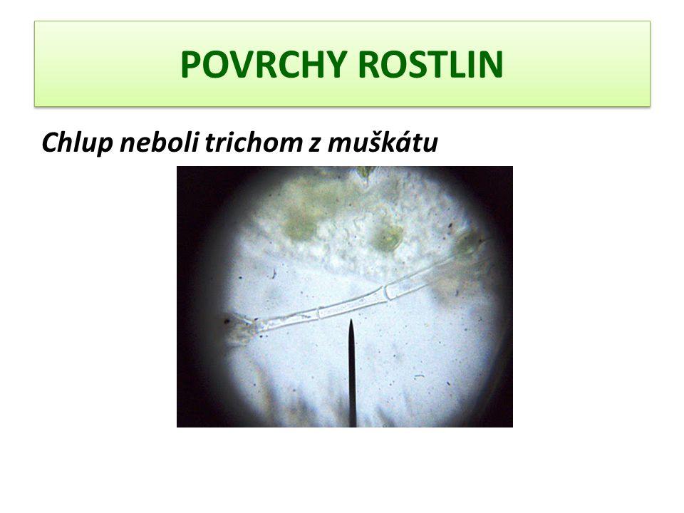 POVRCHY ROSTLIN Podélný řez řapíkem muškátu