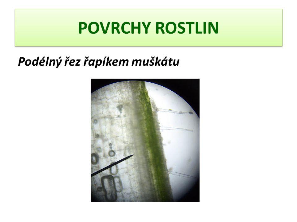 POVRCHY ROSTLIN Kousek spodní pokožky listu muškátu