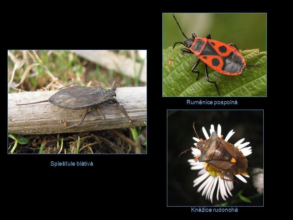 A/ Bruslařka obecná: 2cm, dospělci létají, loví hmyz spadlý na vodní hladinu, po níž se klouzavě pohybují.