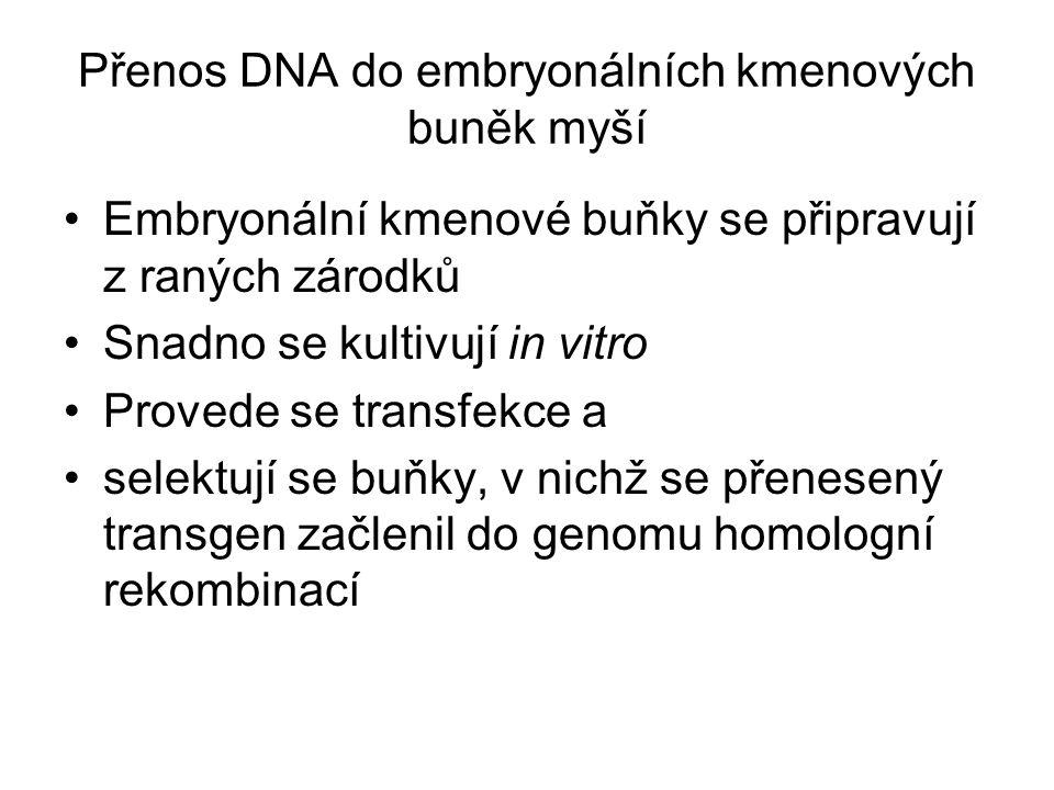 Přenos DNA do embryonálních kmenových buněk myší Embryonální kmenové buňky se připravují z raných zárodků Snadno se kultivují in vitro Provede se transfekce a selektují se buňky, v nichž se přenesený transgen začlenil do genomu homologní rekombinací