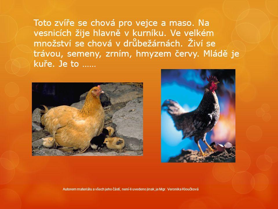 Toto zvíře se chová pro vejce a maso. Na vesnicích žije hlavně v kurníku. Ve velkém množství se chová v drůbežárnách. Živí se trávou, semeny, zrním, h