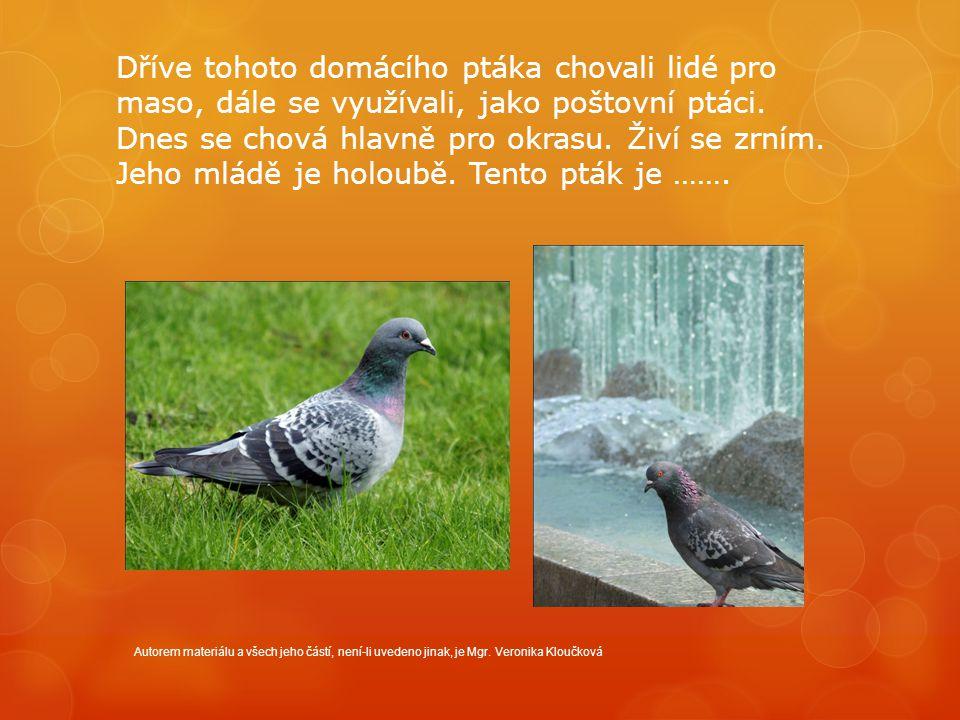 Dříve tohoto domácího ptáka chovali lidé pro maso, dále se využívali, jako poštovní ptáci.
