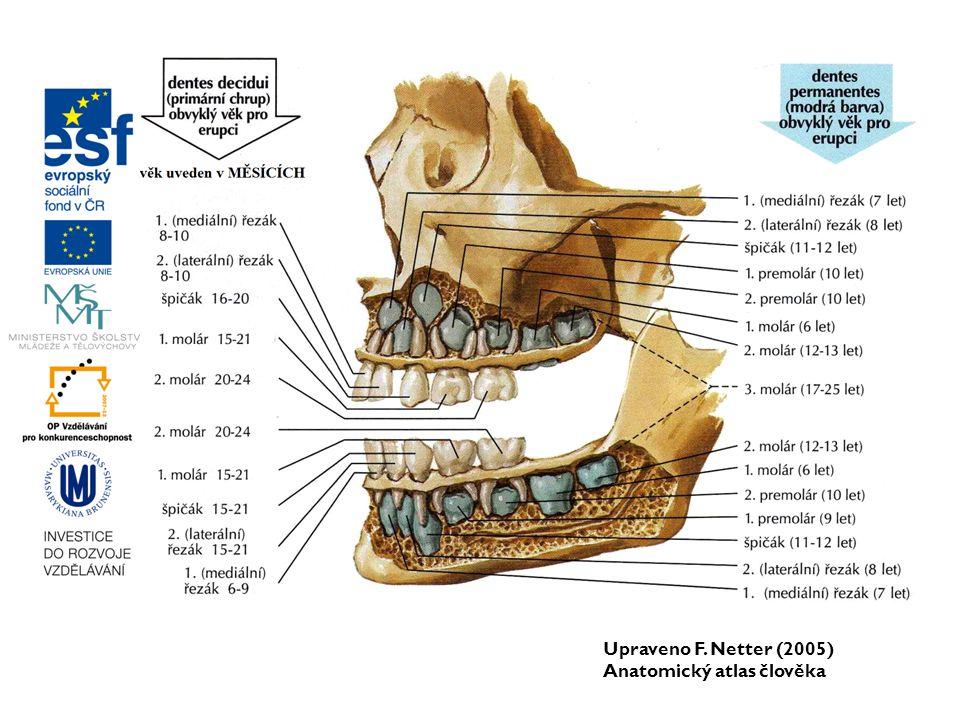 Upraveno F. Netter (2005) Anatomický atlas člověka