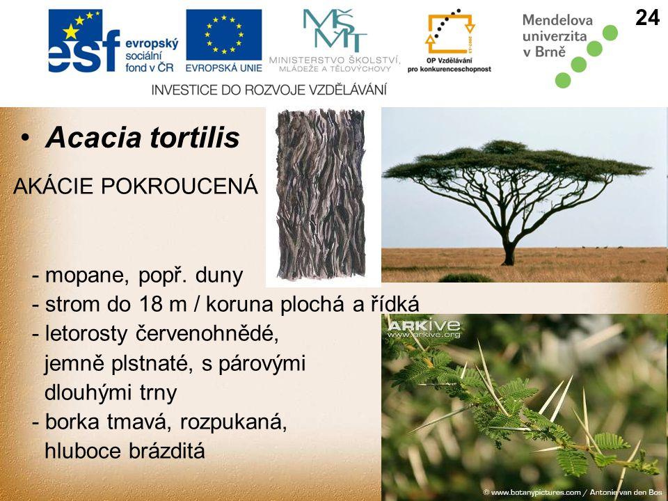 Acacia tortilis AKÁCIE POKROUCENÁ - mopane, popř.