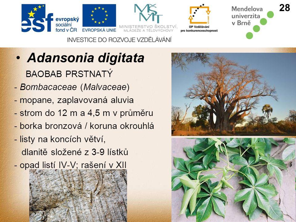 Adansonia digitata 28 BAOBAB PRSTNATÝ - Bombacaceae (Malvaceae) - mopane, zaplavovaná aluvia - strom do 12 m a 4,5 m v průměru - borka bronzová / koruna okrouhlá - listy na koncích větví, dlanitě složené z 3-9 lístků - opad listí IV-V; rašení v XII