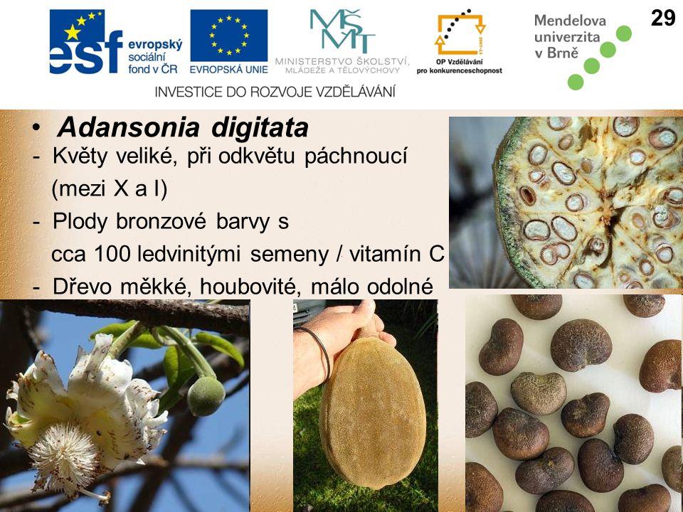 Adansonia digitata 29 - Květy veliké, při odkvětu páchnoucí (mezi X a I) - Plody bronzové barvy s cca 100 ledvinitými semeny / vitamín C - Dřevo měkké, houbovité, málo odolné