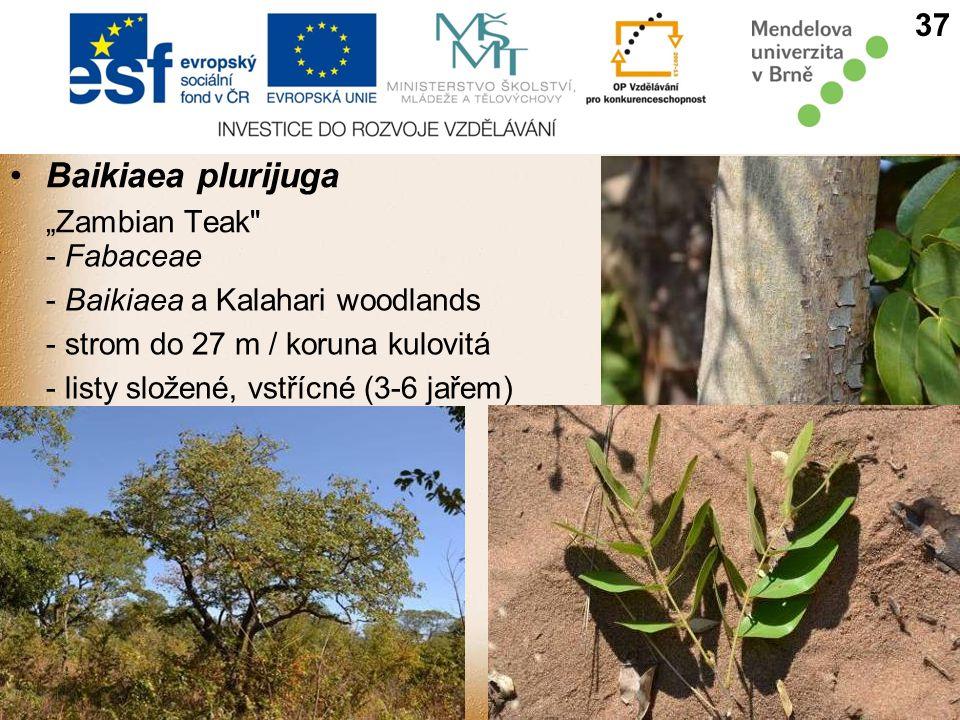 "Baikiaea plurijuga ""Zambian Teak - Fabaceae - Baikiaea a Kalahari woodlands - strom do 27 m / koruna kulovitá - listy složené, vstřícné (3-6 jařem) 37"