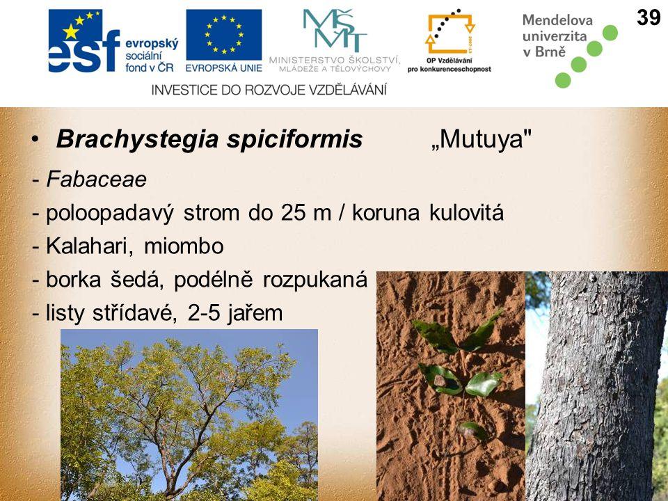 """Brachystegia spiciformis""""Mutuya - Fabaceae - poloopadavý strom do 25 m / koruna kulovitá - Kalahari, miombo - borka šedá, podélně rozpukaná - listy střídavé, 2-5 jařem 39"""