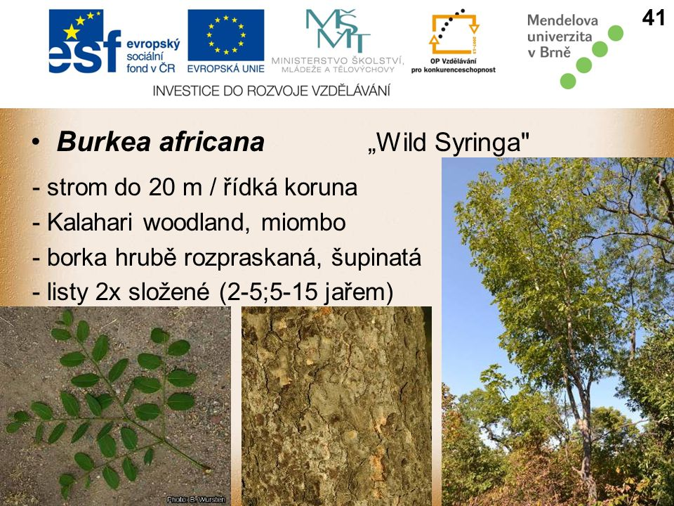 "Burkea africana ""Wild Syringa - strom do 20 m / řídká koruna - Kalahari woodland, miombo - borka hrubě rozpraskaná, šupinatá - listy 2x složené (2-5;5-15 jařem) 41"