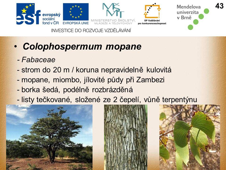 Colophospermum mopane - Fabaceae - strom do 20 m / koruna nepravidelně kulovitá - mopane, miombo, jílovité půdy při Zambezi - borka šedá, podélně rozbrázděná - listy tečkované, složené ze 2 čepelí, vůně terpentýnu 43