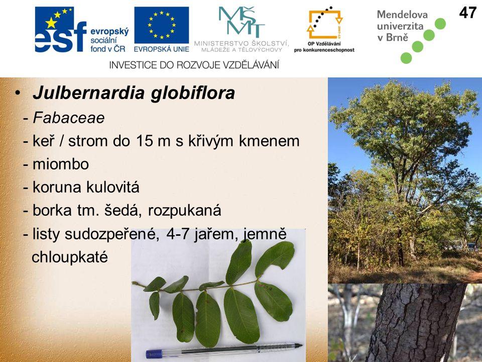 Julbernardia globiflora 47 - Fabaceae - keř / strom do 15 m s křivým kmenem - miombo - koruna kulovitá - borka tm.