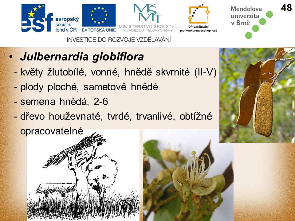 Julbernardia globiflora 48 - květy žlutobílé, vonné, hnědě skvrnité (II-V) - plody ploché, sametově hnědé - semena hnědá, 2-6 - dřevo houževnaté, tvrdé, trvanlivé, obtížné opracovatelné