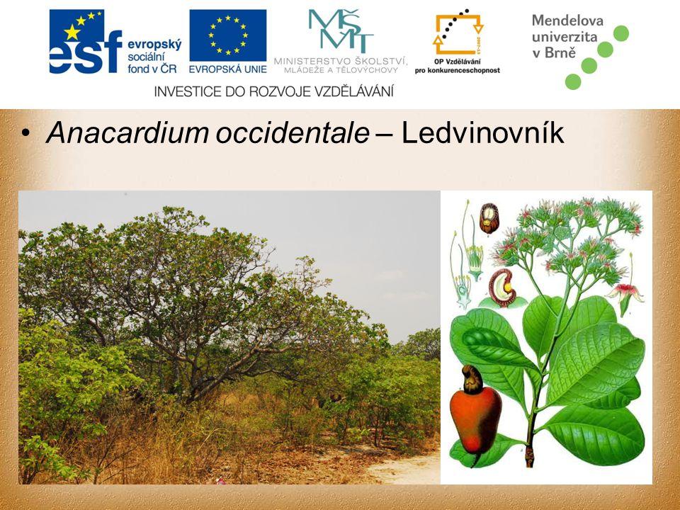 Anacardium occidentale – Ledvinovník