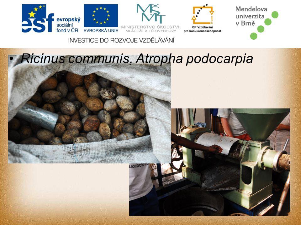 Ricinus communis, Atropha podocarpia