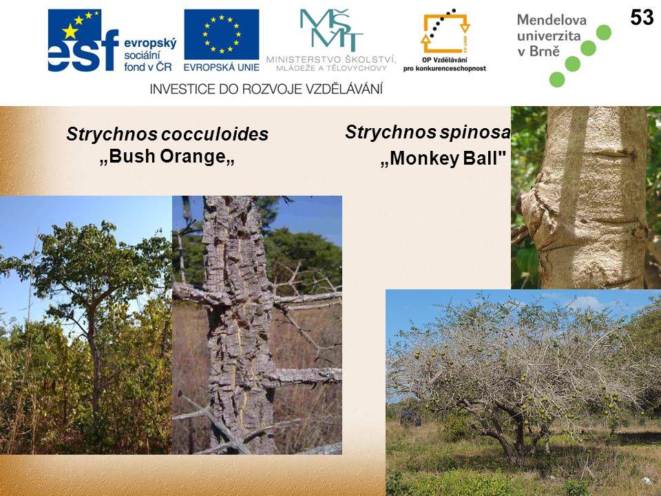 "Strychnos cocculoides ""Bush Orange"" Strychnos spinosa ""Monkey Ball 53"