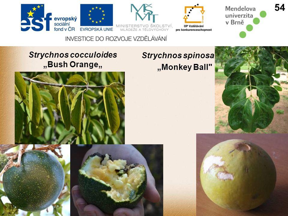 "Strychnos cocculoides ""Bush Orange"" Strychnos spinosa ""Monkey Ball 54"
