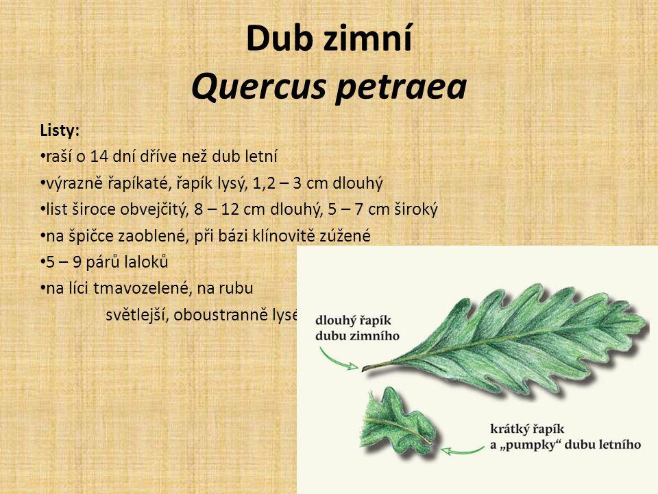 Dub zimní Quercus petraea Listy: raší o 14 dní dříve než dub letní výrazně řapíkaté, řapík lysý, 1,2 – 3 cm dlouhý list široce obvejčitý, 8 – 12 cm dlouhý, 5 – 7 cm široký na špičce zaoblené, při bázi klínovitě zúžené 5 – 9 párů laloků na líci tmavozelené, na rubu světlejší, oboustranně lysé