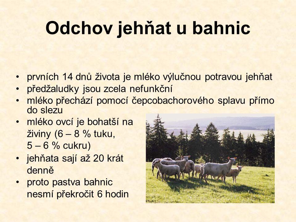 Odchov jehňat u bahnic prvních 14 dnů života je mléko výlučnou potravou jehňat předžaludky jsou zcela nefunkční mléko přechází pomocí čepcobachorového splavu přímo do slezu mléko ovcí je bohatší na živiny (6 – 8 % tuku, 5 – 6 % cukru) jehňata sají až 20 krát denně proto pastva bahnic nesmí překročit 6 hodin